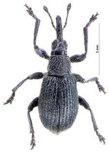 Betulapion simile (W. Kirby, 1811)