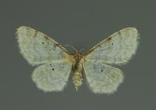 Idaea sylvestraria (Hübner, 1799)