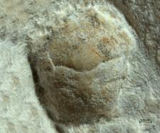 Eodromites rotundus