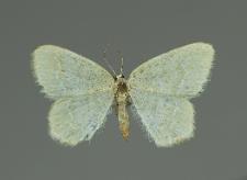 Jodis putata (Linnaeus, 1758)