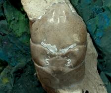 Tanidromites scheffnerae