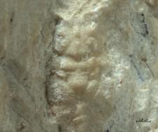 Nodoprosopon ornatum