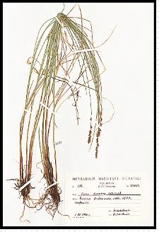 Carex diandra Schrank