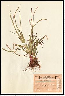 Carex digitata L.