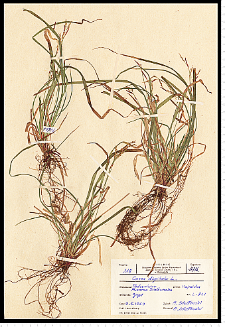 Carex digitata L.