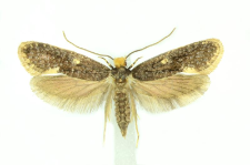 Monopis weaverella (Scott, 1858)