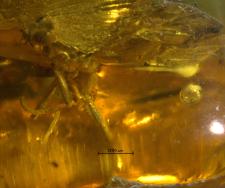 Ichneumonidae