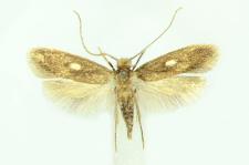 Monopis fenestratella (Heyden, 1863)