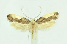 Monopis monachella (Hübner, 1796)