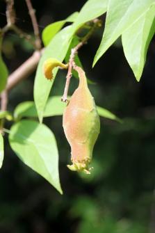 Chimonanthus praecox (L.) Link