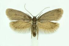 Lypusa maurella (Denis & Schiffermüller, 1775)