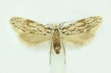 Dryadaula caucasica (Zagulajev, 1970)