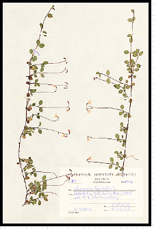 Linnaea borealis L.