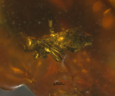 Pseudoscorpionidae