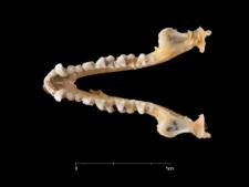 Myotis blythi