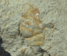 Gabriella biburgensis