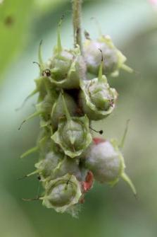 Corylopsis veitchiana Bean