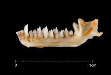 Miniopterus schreibersii
