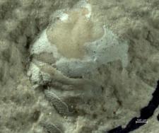 Goniodromites serratus