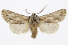 Asteroscopus sphinx