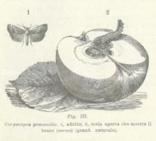 Notizie sulla Tignola del melo e sul Verme delle mele e istruzioni per combatterli