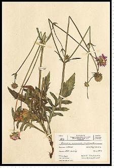 Knautia arvensis (L.) J. M. Coult.