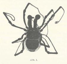 Ein neuer Fundort von Ischyropsalis taunica Müller