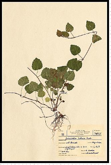 Galeobdolon luteum Huds.