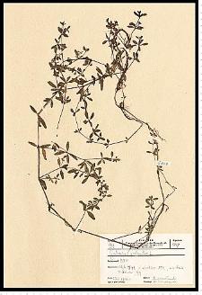 Galium palustre L.