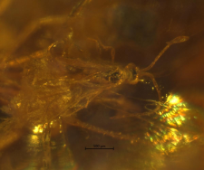 Hymenoptera (Proctotrupoidea)