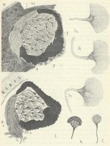 Anatomie oći naśich Triclad: (Planaria gonocephala a vitta.)