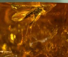 Diptera (Nematocera)