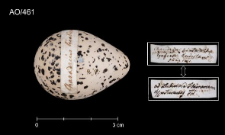 Charadrius hiaticula