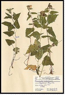 Campanula trachelium L.