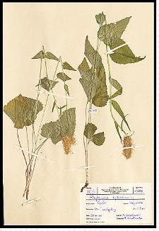 Phyteuma spicatum L.