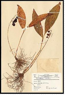 Convallaria majalis L.