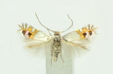 Leucoptera malifoliella (O. Costa, 1836)