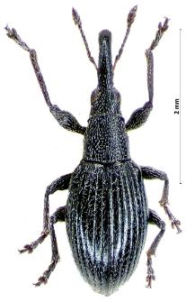 Aspidapion radiolus (Th. Marsham, 1802)
