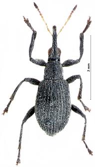 Eutrichapion vorax (J.F.W. Herbst, 1797)