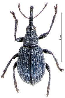 Hemitrichapion pavidum (E.F. Germar, 1817)