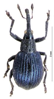 Holotrichapion pisi (Fabricius, 1801)