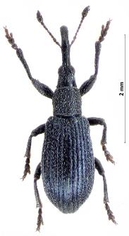 Stenopterapion meliloti (W. Kirby, 1808)