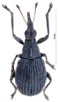 Oxystoma craccae (Linnaeus, 1767)