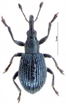 Protopirapion atratulum (E.F. Germar, 1817)