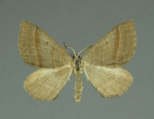 Scotopteryx mucronata (Scopoli, 1763)