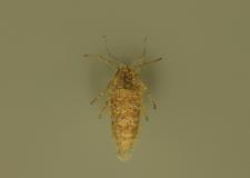 Alsophila aescularia (Denis & Schiffermüller, 1775)