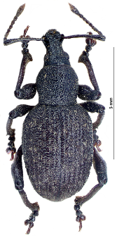 Dodecastichus inflatus (L. Gyllenhal, 1834)