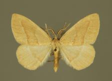 Hylaea fasciaria (Linnaeus, 1758)