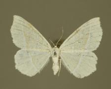 Campaea margaritata (Linnaeus, 1761)