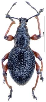 Otiorhynchus niger (Fabricius, 1775)